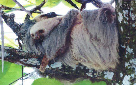 11_Costa Rica_Dschungel Faultier